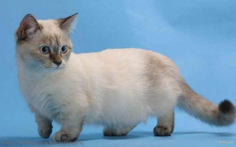 напоезд Шарья- кошка породы манчкин цена при язвенной