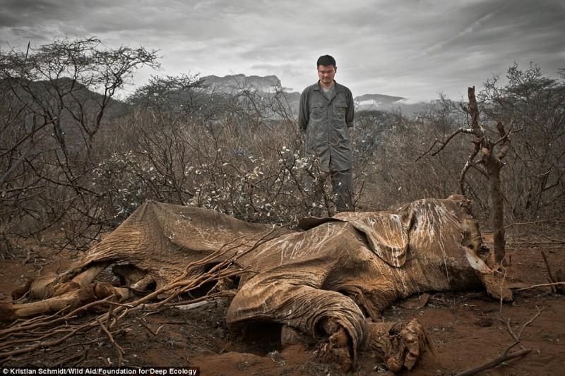Слон, убитый браконьерами. Охотники оставили его гнить.