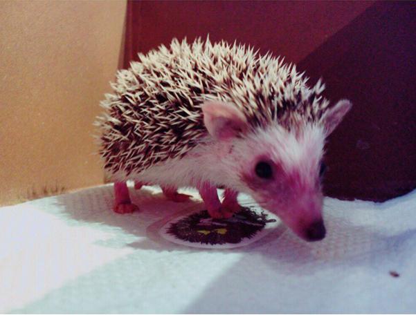 Также ежики это не редкость в качестве домашних животных в Японии