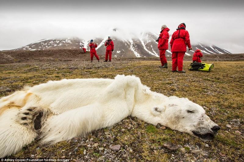 Белый медведь, вынужденный голодать до смерти в Свалварде, Норвегия.