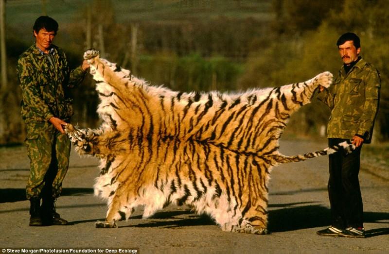 Браконьеры гордо позируют со шкурой сибирского тигра.