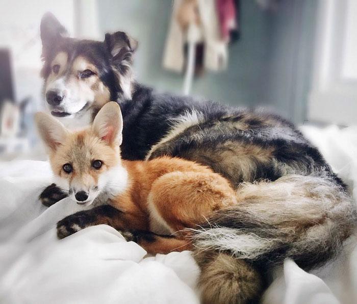 Лиса Джунипер и пес Мус полюбили друг-друга с первого взгляда!