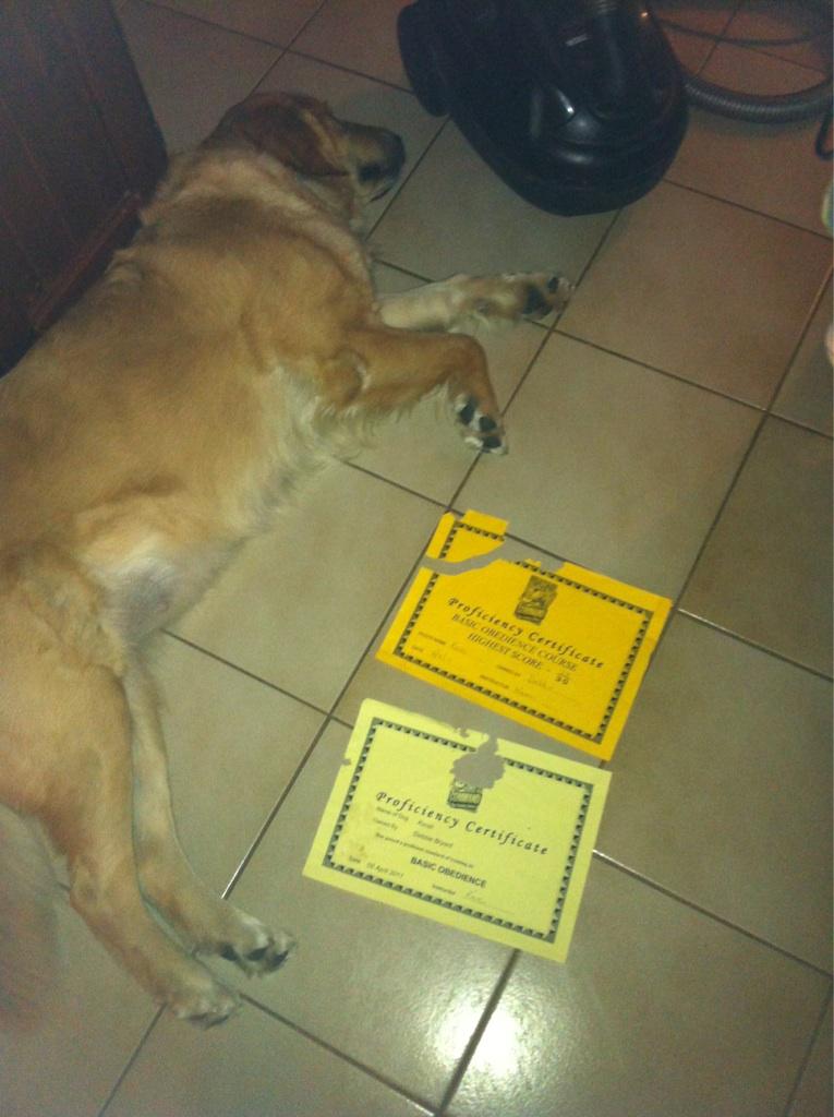 """""""Мой пес съел сертификаты, что он прошел тренировку на послушание. Это клиника"""""""