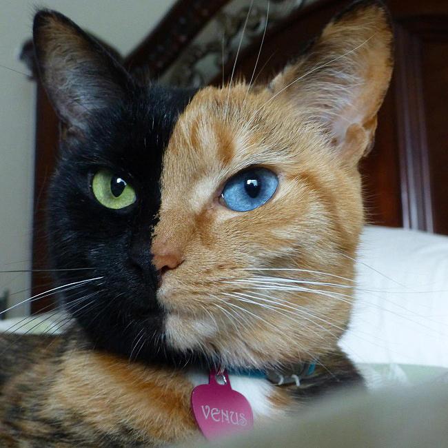 Цвет глаз у кошек