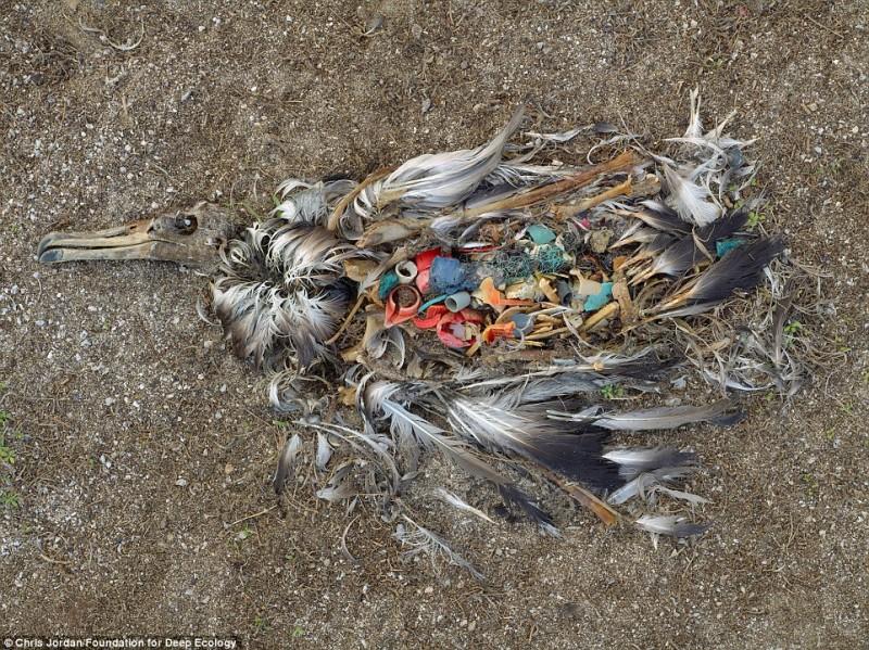 Мертвый альбатрос разрывается изнутри от мусора.