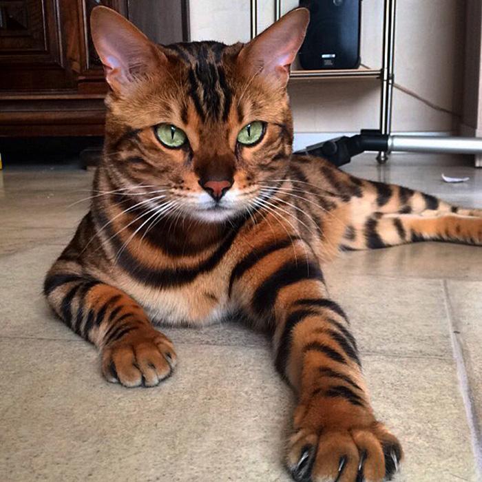 Тхор - бенгальский кот