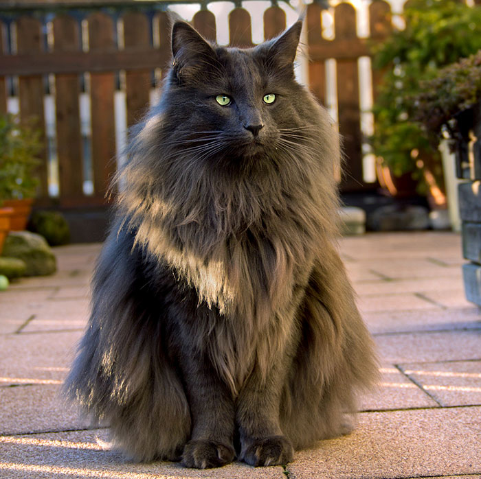 Луан - норвежский лесной кот