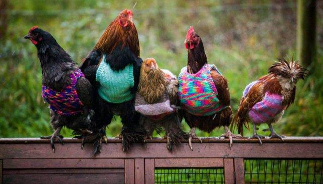 Новая мода: теперь курочки носят разноцветные свитера