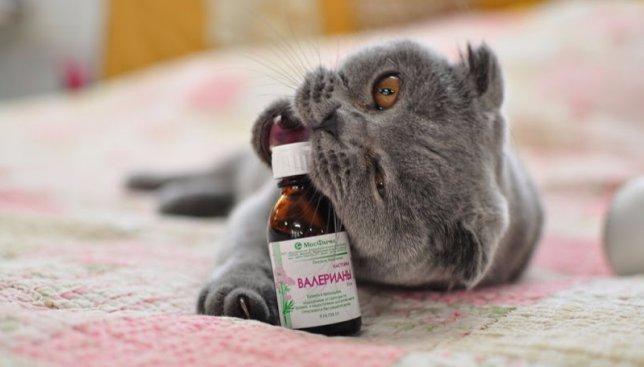 Раскрываем тайну: почему коты так обожают валерьяну (Фото)