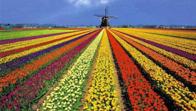 10 интересных фактов о голландских тюльпанах и главном цветочном парке Нидерландов (Фото)