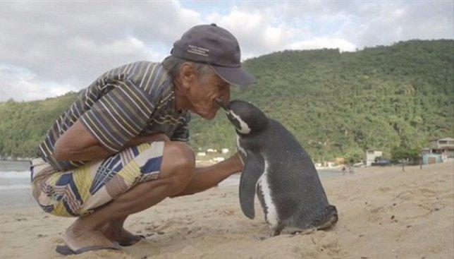Необычный случай: пингвин считает человека частью своей семьи