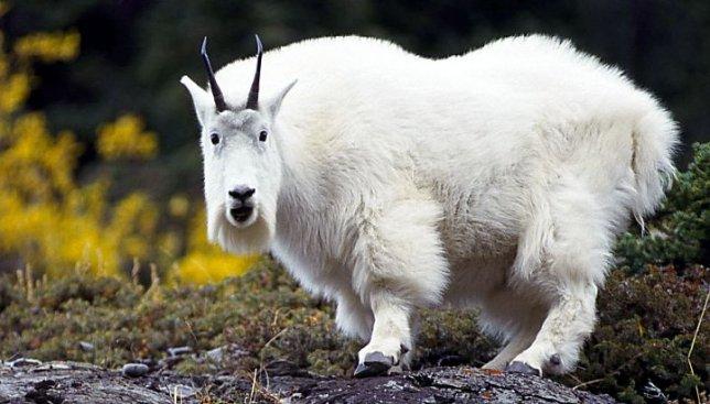 Как вам новость: сегодня день белой козы!