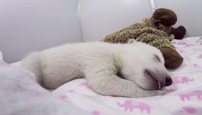 Детеныш белой медведицы был оставлен матерью: как люди спасли ему жизнь