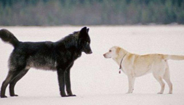 Невероятная встреча: что будет, если волк и собака столкнутся с глазу на глаз (Фото)
