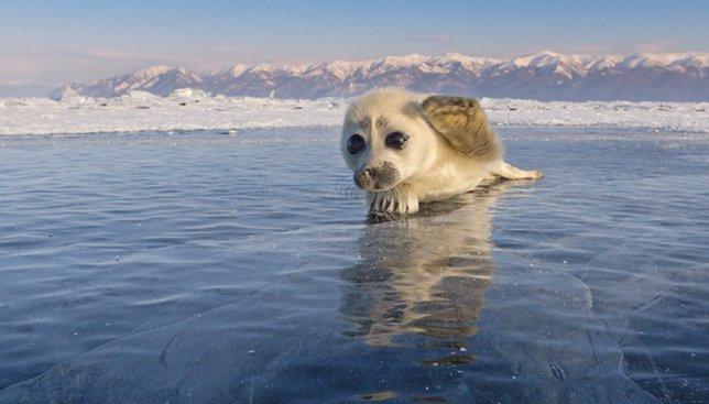 8 снимков детеныша тюленей, за которыми фотограф охотился 3 года