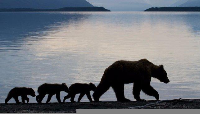 46 красивейших фотографий, как мама-медведь обращается со своими малышами