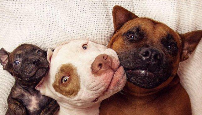 10 милых фотографий собачьей семьи: мама, папа и их усыновленный ребенок