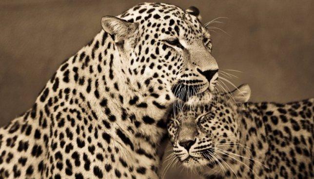 """""""Тигры - это большие коты"""": фотографии, доказывающие, что животные умеют любить"""