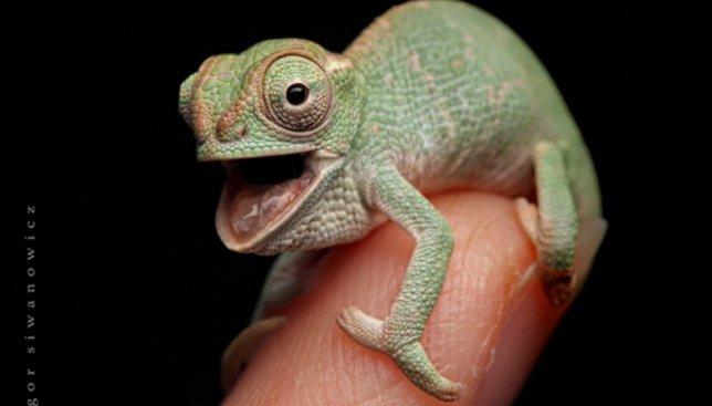 24 фотографии хамелеонов, размеры которых вас точно впечатлят