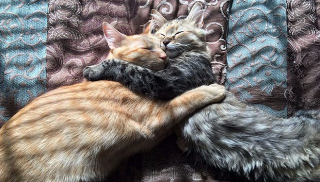 Сегодня день пушистой нежности: как пара котов всегда спит в обнимку (Фото)