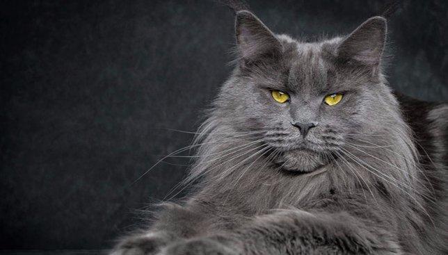 21 фотография котов, которая доказывает, что они и львы - братья