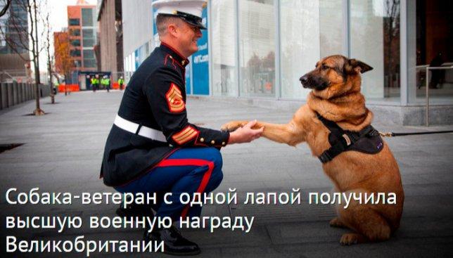 Собака-ветеран с одной лапой получила высшую военную награду Великобритании (Фото)