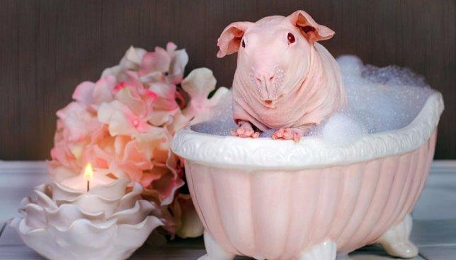 Морские свинки очень любят принимать пенную ванну и позировать на камеру