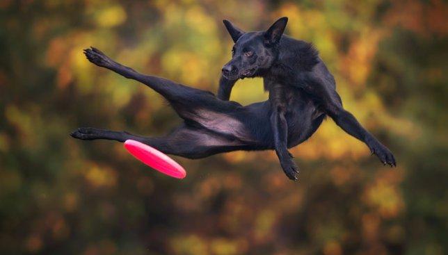 Надрессированные собаки умеют летать: забавные снимки