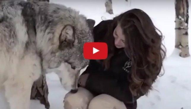 Невозможное возможно: как волк стал другом для человека (Видео)