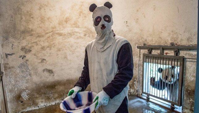 Панды атакуют: как непросто приходится на работе смотрителю за пандами (Видео)