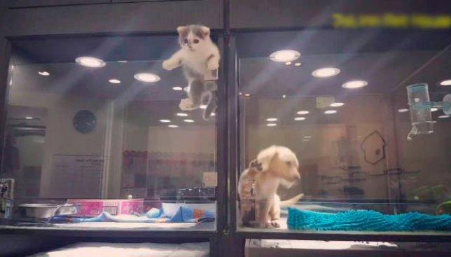 Курьезный случай в зоомагазине: котенок сбежал, чтобы попасть в неожиданное место (Видео)