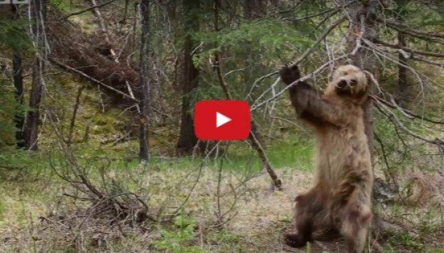 Скрытая камера: что делает медведь, когда у него чешется спинка (Видео)