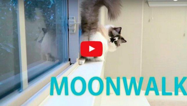 Видео с котом, который исполняет лунную походку Майкла Джексона, поднимет настроение каждому