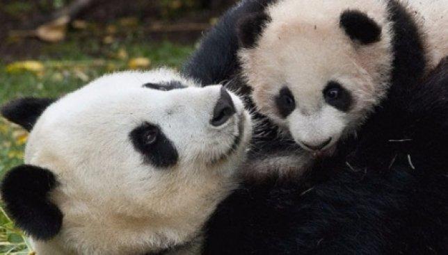 Детеныш панды впервые видит свою маму