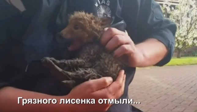 Грандиозное спасение: как мужчины в последнюю секунду вытащили лисенка из водостока (Видео)