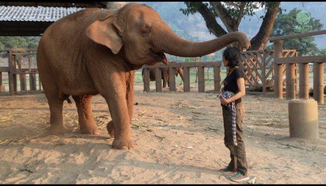 Хит Сети: девушка усыпила колыбельной... слона  (Видео)