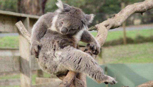 Курьезы на дорогах: как коала организовал пробку на проезжей части (Видео)