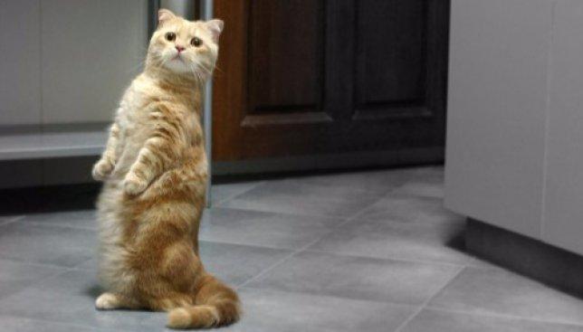 Коты иногда совсем как люди: смешное видео