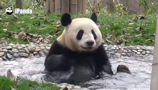 Панды принимают ванну: видео, которое поднимает настроение на весь день