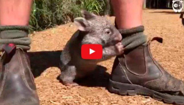 Смешной случай: вомбат решил, что он собака и ведет себя также (Видео)