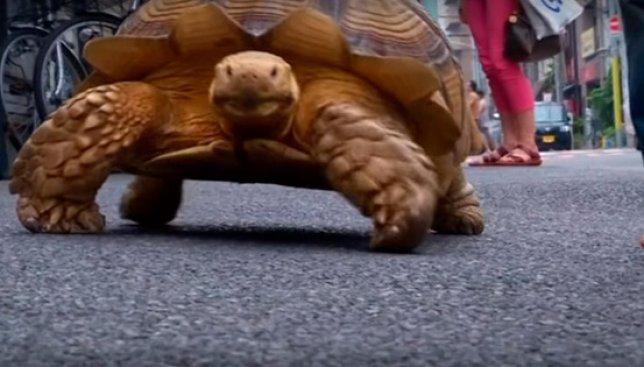 День неторопливости: как лениво выгуливает свою черепаху житель Токио