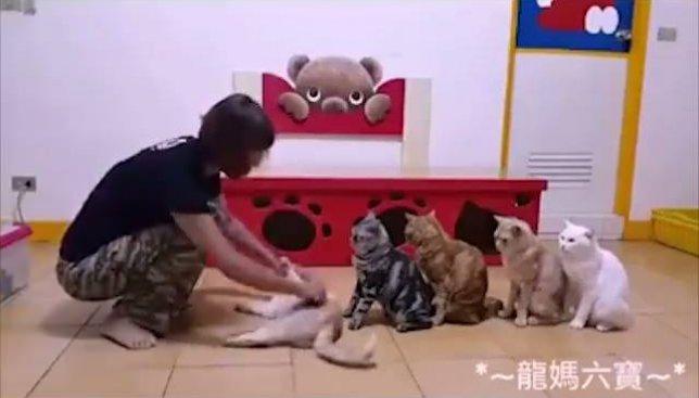 Курьезы с Японии: ради чего коты готовы стать в очередь и смирно ждать