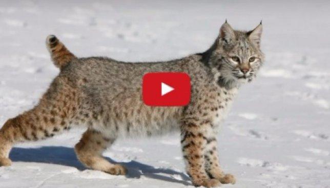 Люди в шоке: как поступит кот, если увидит приближающуюся к нему рысь (Видео)