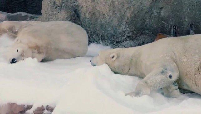 Как полярным медведям сотрудники зоопарка на Рождество подарили снег