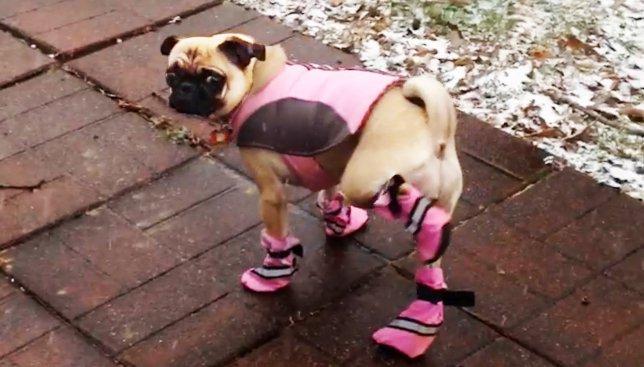 Сезон дождей открыт: как весело реагируют собаки на одетые первый раз в жизни ботинки (Видео)