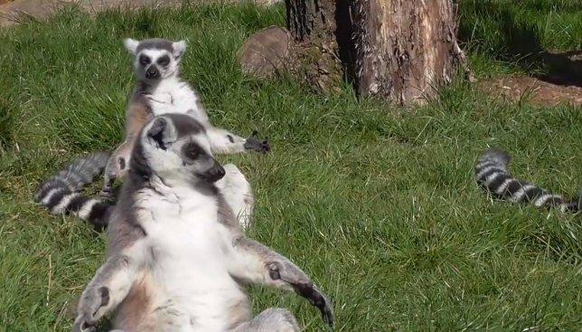 Потеплело: как лемуры принимают солнечные ванны (Видео)