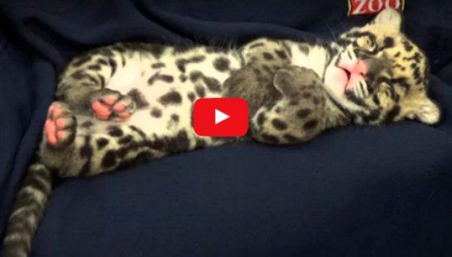 Видео, настраивающее на сон: как засыпает детеныш леопарда