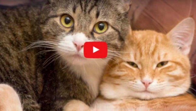 10 интересных причин завести дома вторую кошку (Видео)